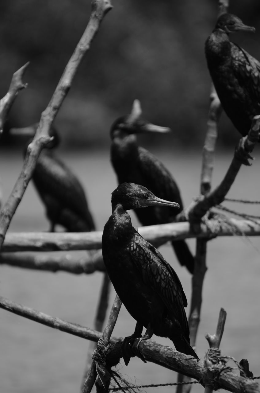 bird, perching, animal themes, animals in the wild, animal wildlife, focus on foreground, branch, no people, outdoors, nature, day, raven - bird, tree, close-up