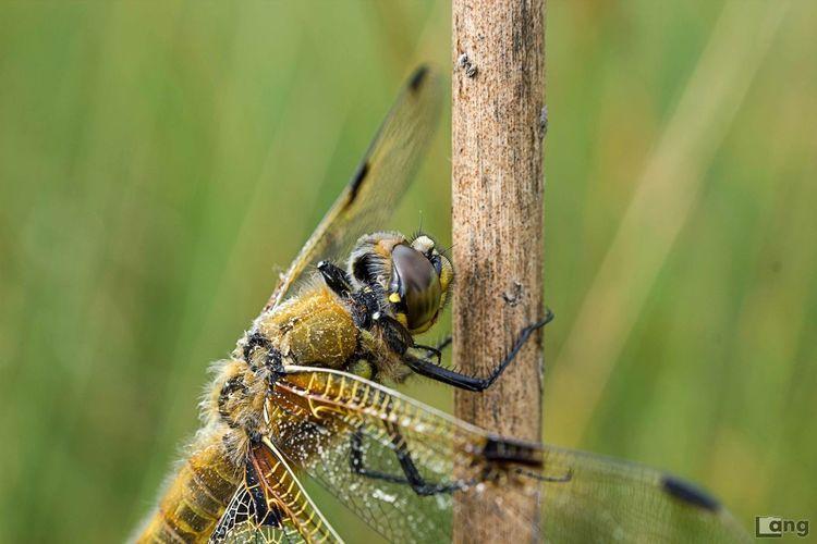 Dragonfly Libelle Macro Makro Summer Sun