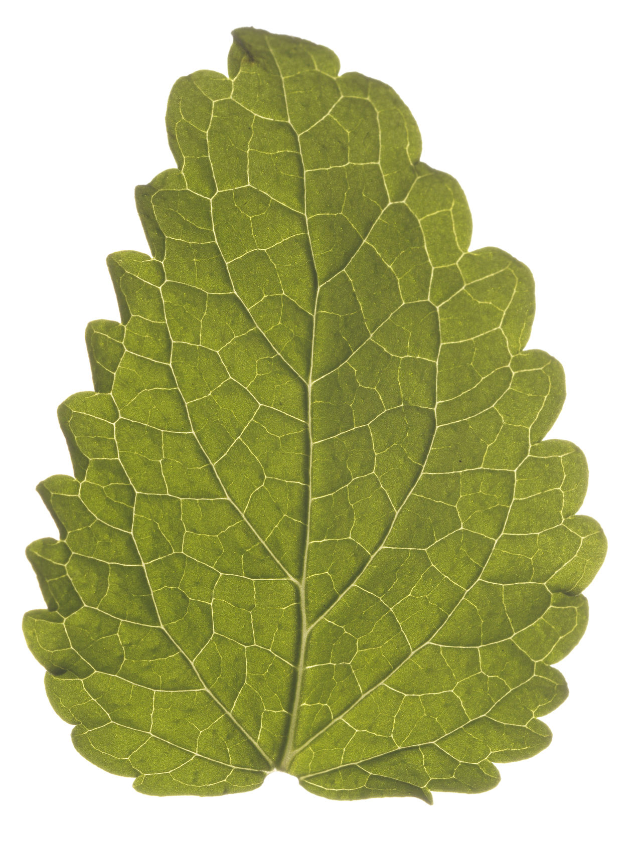 Leaf White Background Studio Shot Close-up Nature Environmental Conservation Social Issues No People Freshness Food Healthy Eating Studiophotography