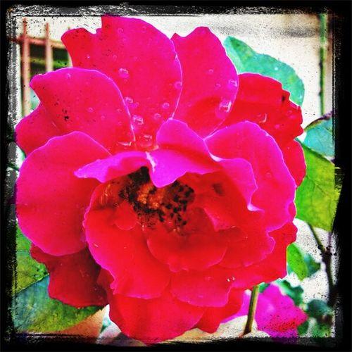Que sería de la rosa sin sus espinas... Hello World