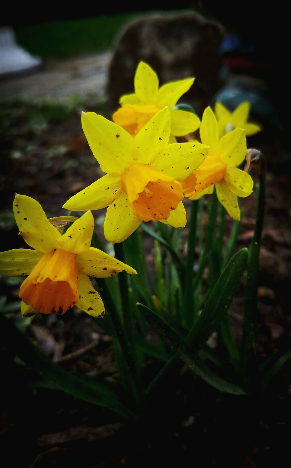 Mini daffodils... Yellow Nature Flower Beauty In Nature PlantGrowth Outdoors Hanging Out EyeEm Taking Photos Eye Em Around The World Hello World Check This Out Not Strange To Me Flowers,Plants & Garden Flowers, Nature And Beauty Nature Close-up