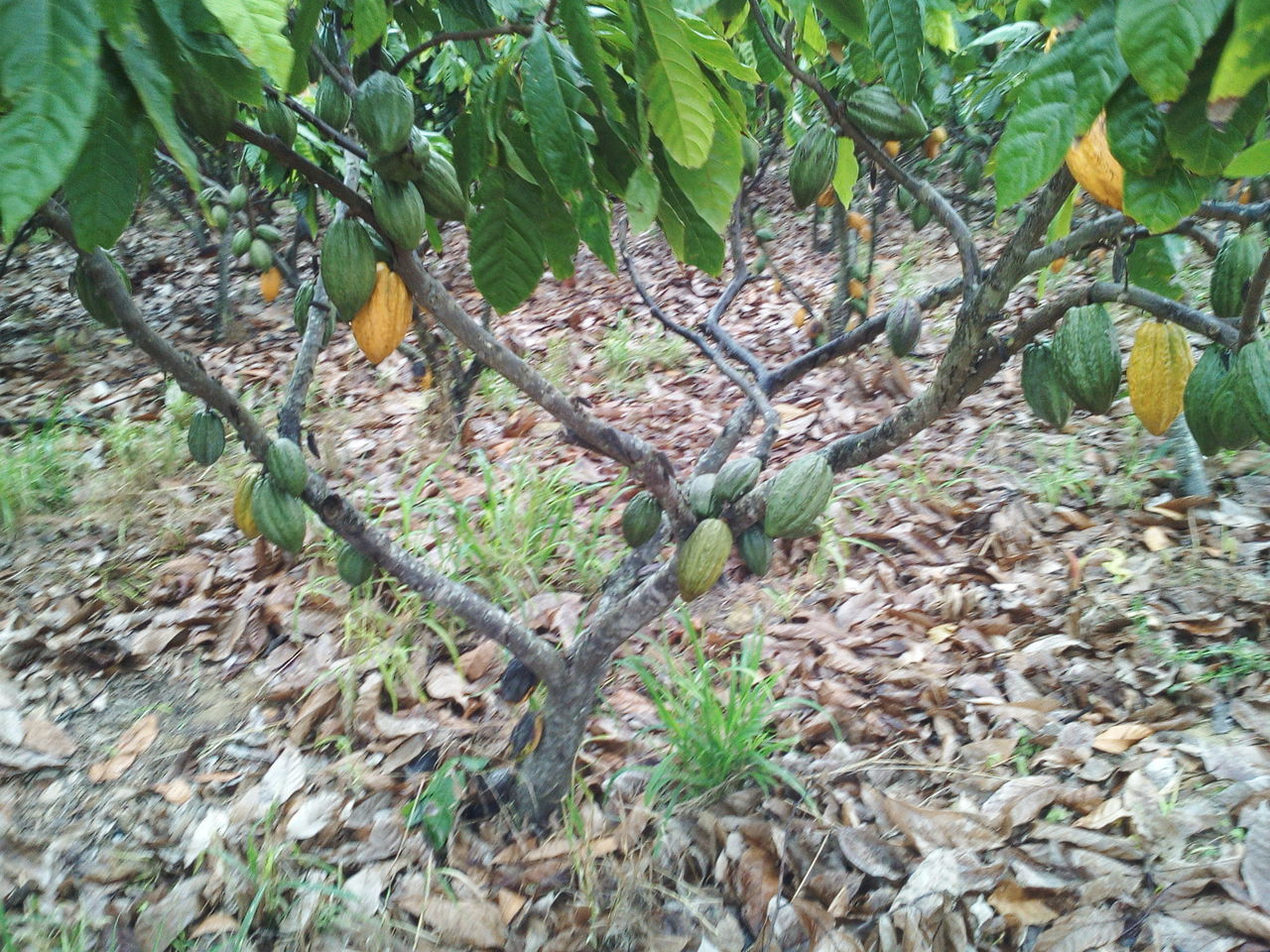 cocoa brazil Nature Monay Buy Export Sell Tree Plant Chocolate Cocoa Agro Agriculture Tropical Bitter Fruit