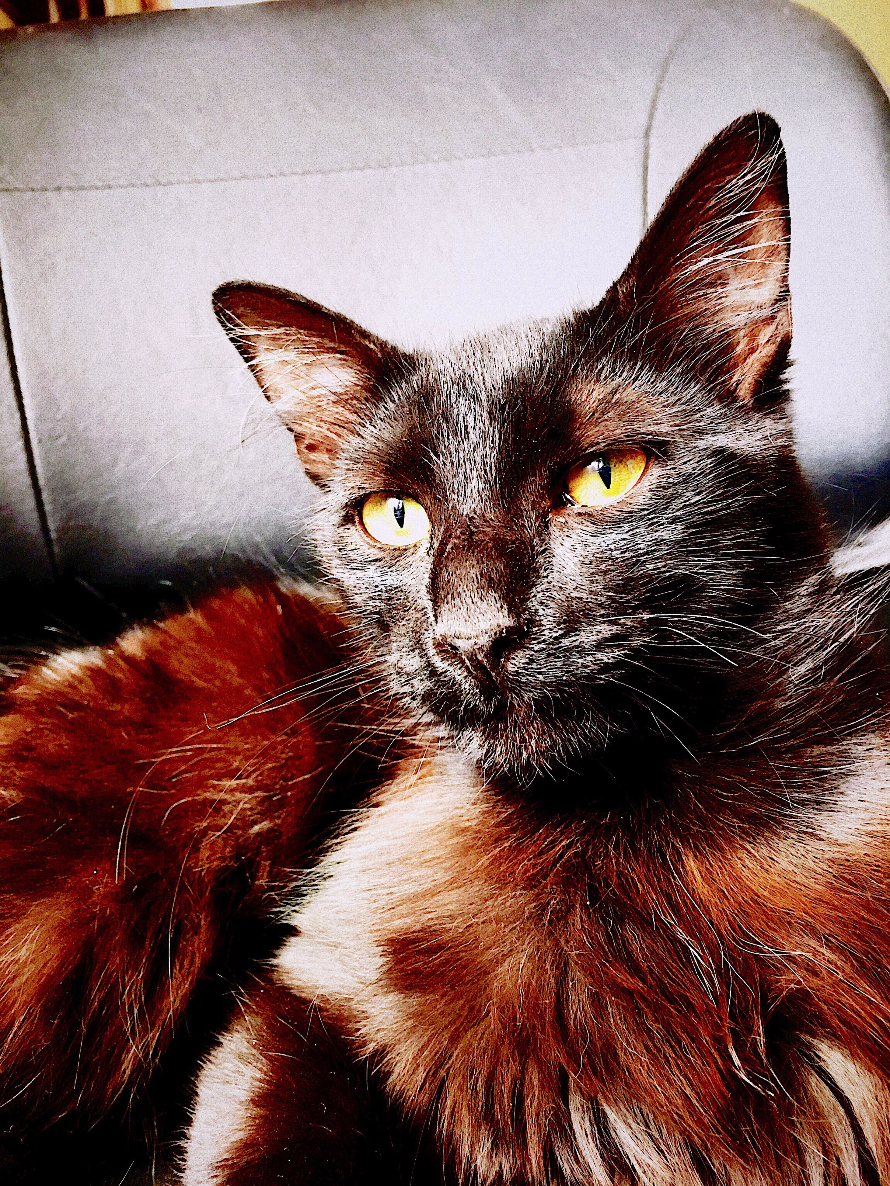 pets, animal themes, one animal, domestic animals, domestic cat, close-up, indoors, animal head, auto post production filter, mammal, feline, cat, looking at camera, resting, whisker, animal eye, focus on foreground, zoology, no people, animal