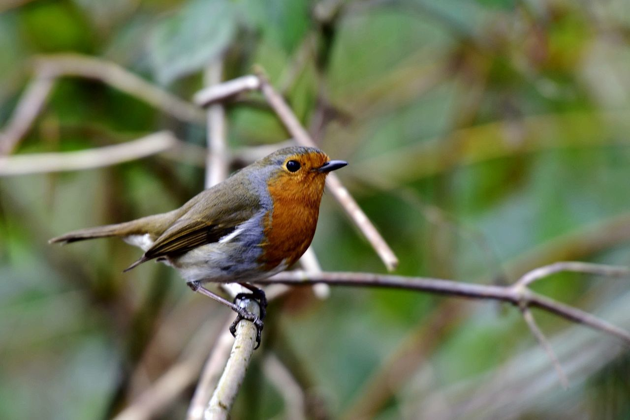 Wildlife & Nature Close-up Robin Beauty In Nature Animal Themes Branch Bokeh Dof Nature Bird Nature Animals In The Wild Robin Redbreast Outdoors Wild Bird Animal Wildlife Erithacus Rubecula No People