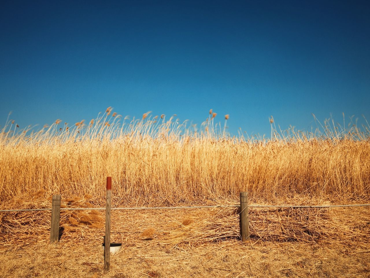 clear sky, field, blue, copy space, rural scene, agriculture, landscape, farm, tranquility, tranquil scene, nature, crop, growth, horizon over land, scenics, beauty in nature, day, plant, no people, cultivated land