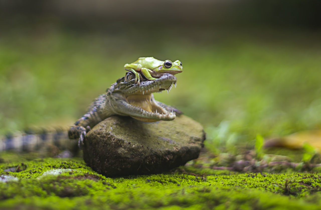 Beautiful stock photos of krokodil,  Alertness,  Alligator,  Animal Behavior,  Animal Themes