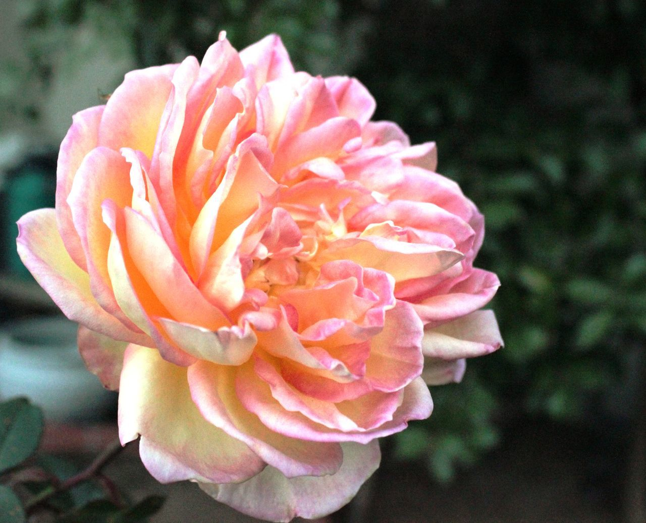 pastel power! Pastel Colors Paste Colored Rose Bursting Bursting With Colors Full Bloom Rose Shaggy Dog Sweet Smell Of A Rose Yellow And Pink Rose 🌹 Yellow Rose With Pink Tink ti