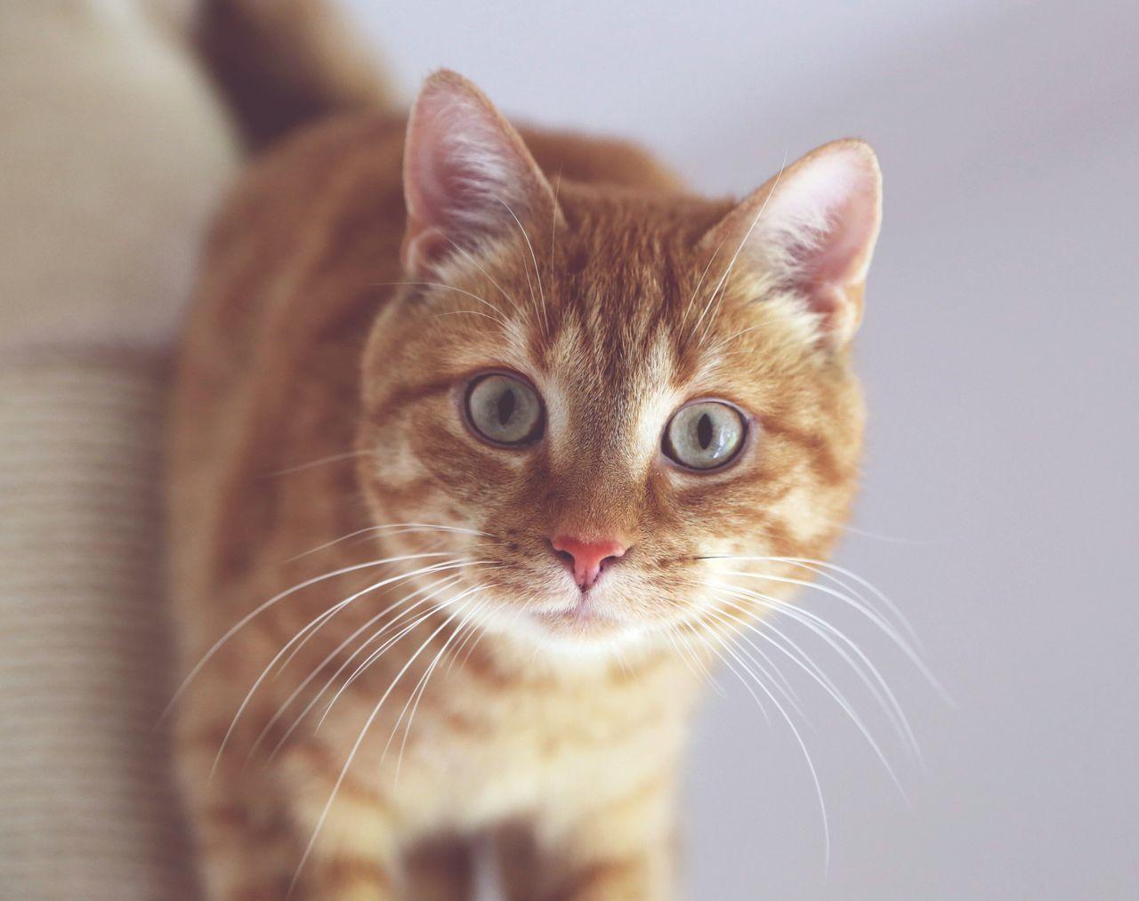 Beautiful stock photos of animals, Animal Themes, Close-Up, Domestic Animals, Domestic Cat