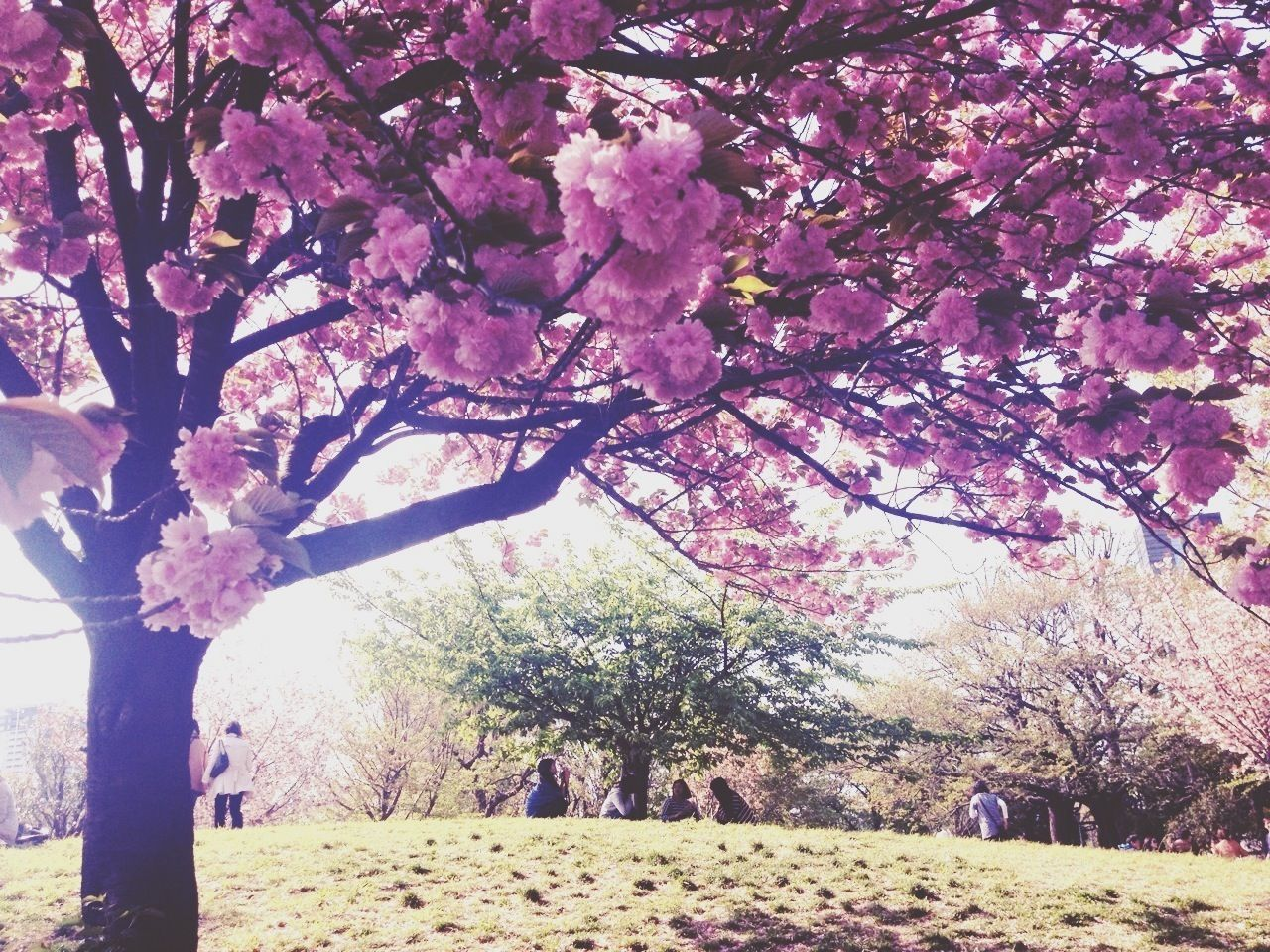 Beautiful stock photos of park, Beauty In Nature, Blooming, Cherry Blossom, Cherry Tree