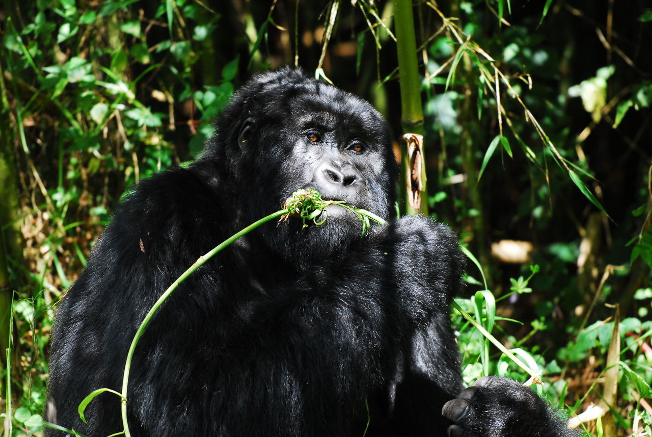 Parc National des Volcans, Rwanda Animal Hair Animal Themes Animals In The Wild Ape Day Feeding  Focus On Foreground Gorilla Green Green Color Mammal Mountain Gorilla Nature No People One Animal Outdoors Plant Primate Rwanda Veggie Volcano Wild Wildlife Wildlife Photography Zoology
