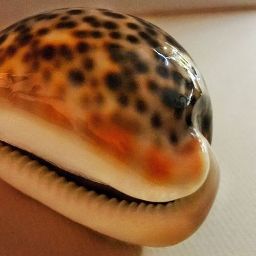 Shell Cowry Close-up Indoors  No People Food And Drink Food Freshness Day Red Sea Memories Diving Reefs Collector Beauty In Nature