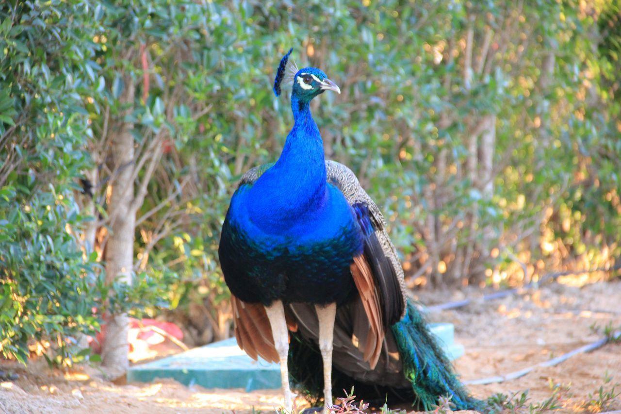Peacock Dubai UAE , Dubai Palace Zabeel