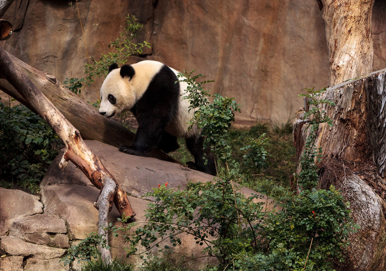 one animal, animals in the wild, bear, animal wildlife, mammal, animal themes, no people, nature, panda - animal, day, outdoors, giant panda, tree, red panda