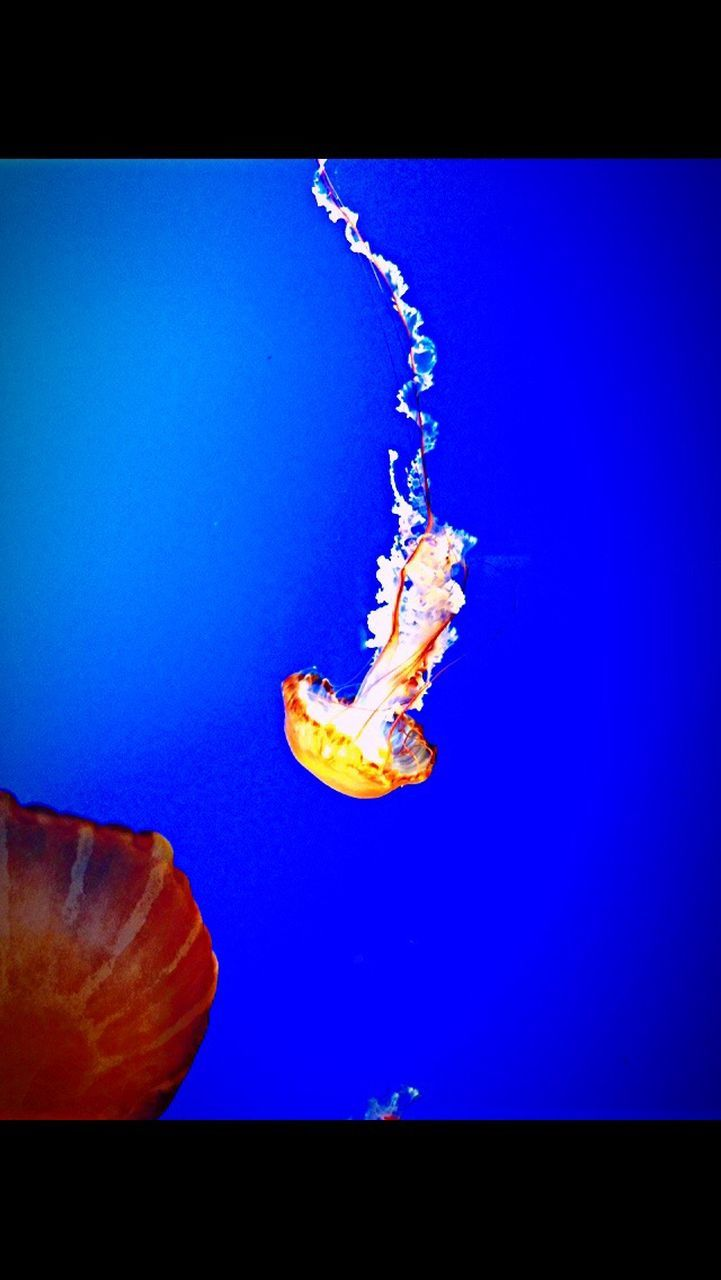 jellyfish, underwater, blue, sea life, no people, animals in the wild, swimming, one animal, close-up, animal themes, water, studio shot, undersea, floating in water, aquarium, indoors, nature, day