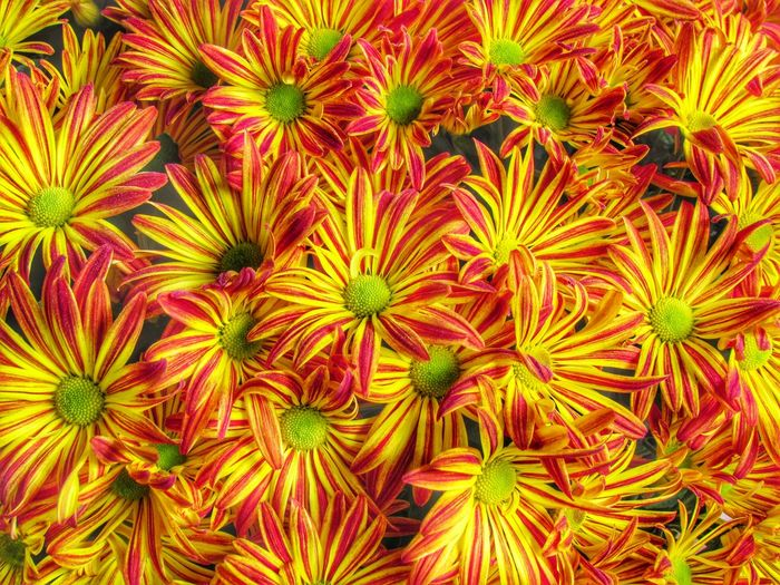 Pelee Mums Flowers Flowers,Plants & Garden Fauna Flora Colors Colorful Yellow Red Yellow Flower