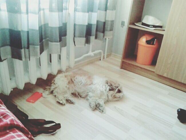 Hi Beautydog Shi-tzu Dog❤ Love ♥ Kupidonas Lithuania Panevėžys FolowMe ✌ Folowforfollow