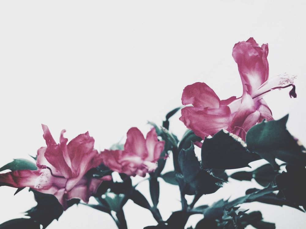 Flower Fragility Nature Beauty In Nature Growth Petal Freshness Pink Color Close-up No People Plant Flower Head Leaf White Background Outdoors Day Blossom Weihnachtskaktee