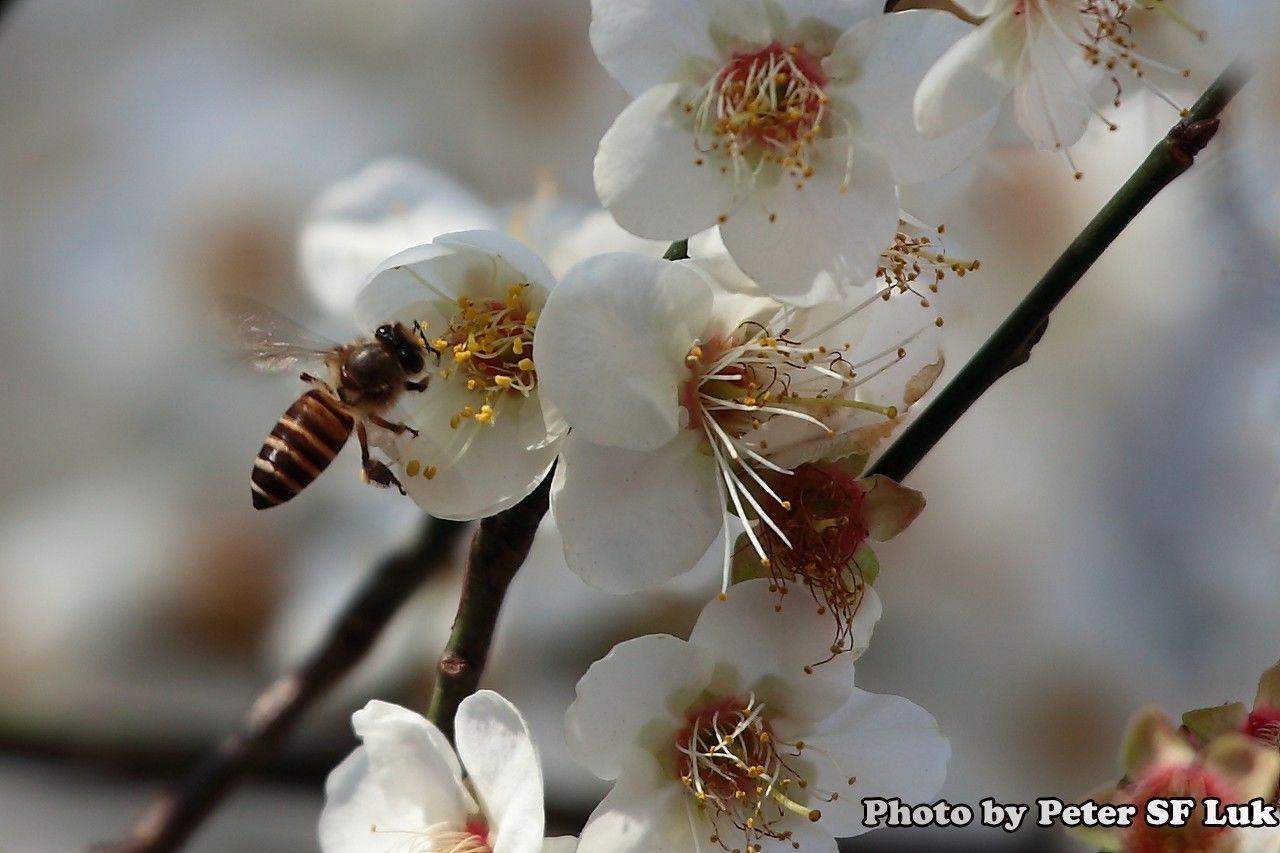 white color, flower, focus on foreground, close-up, no people, nature, day, outdoors, insect, beauty in nature, bee, animals in the wild, animal themes, fragility, growth, tree, branch, flower head, freshness