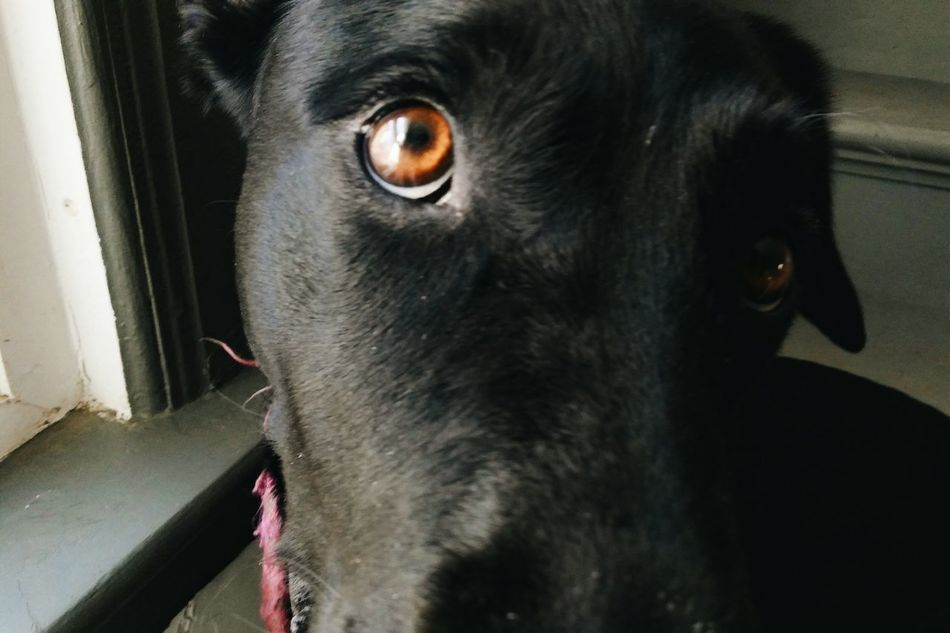 Animal Themes Domestic Animals Mammal Close-up Pets Black Color Animal Eye Portrait Black Dogs Black Labs Brown Eyes Happy Dogs Cute Dogs