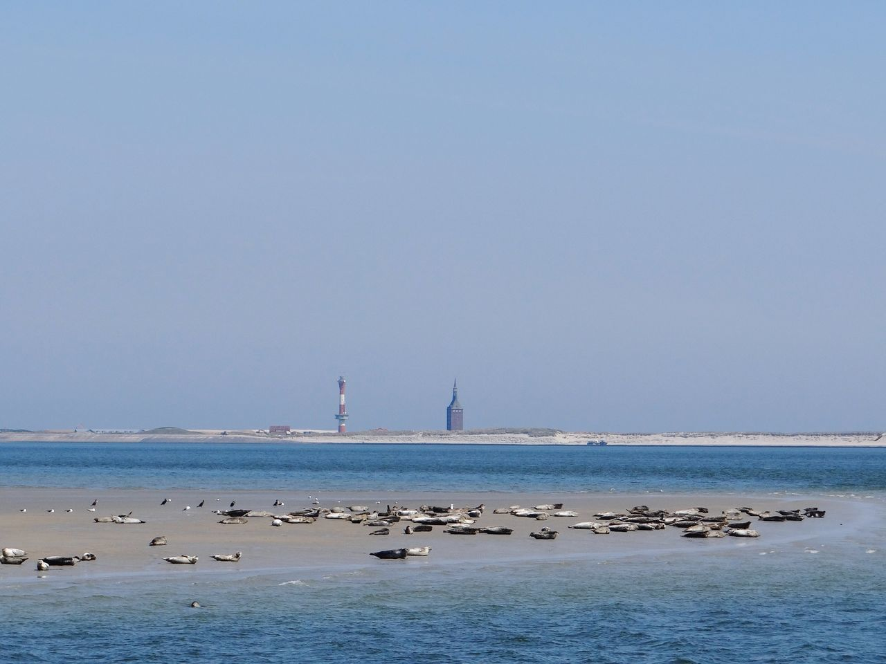 Wangerooge Wattenmeer Sea Animals In The Wild Seehunde Seehundbank Animal Wildlife Nature Nordsee North Sea Lighthouse Leuchtturm Island Tidelands Seal Seals On Beach Spiekeroog  Beach Meer Horizon Over Water Animal Tiere Westturm