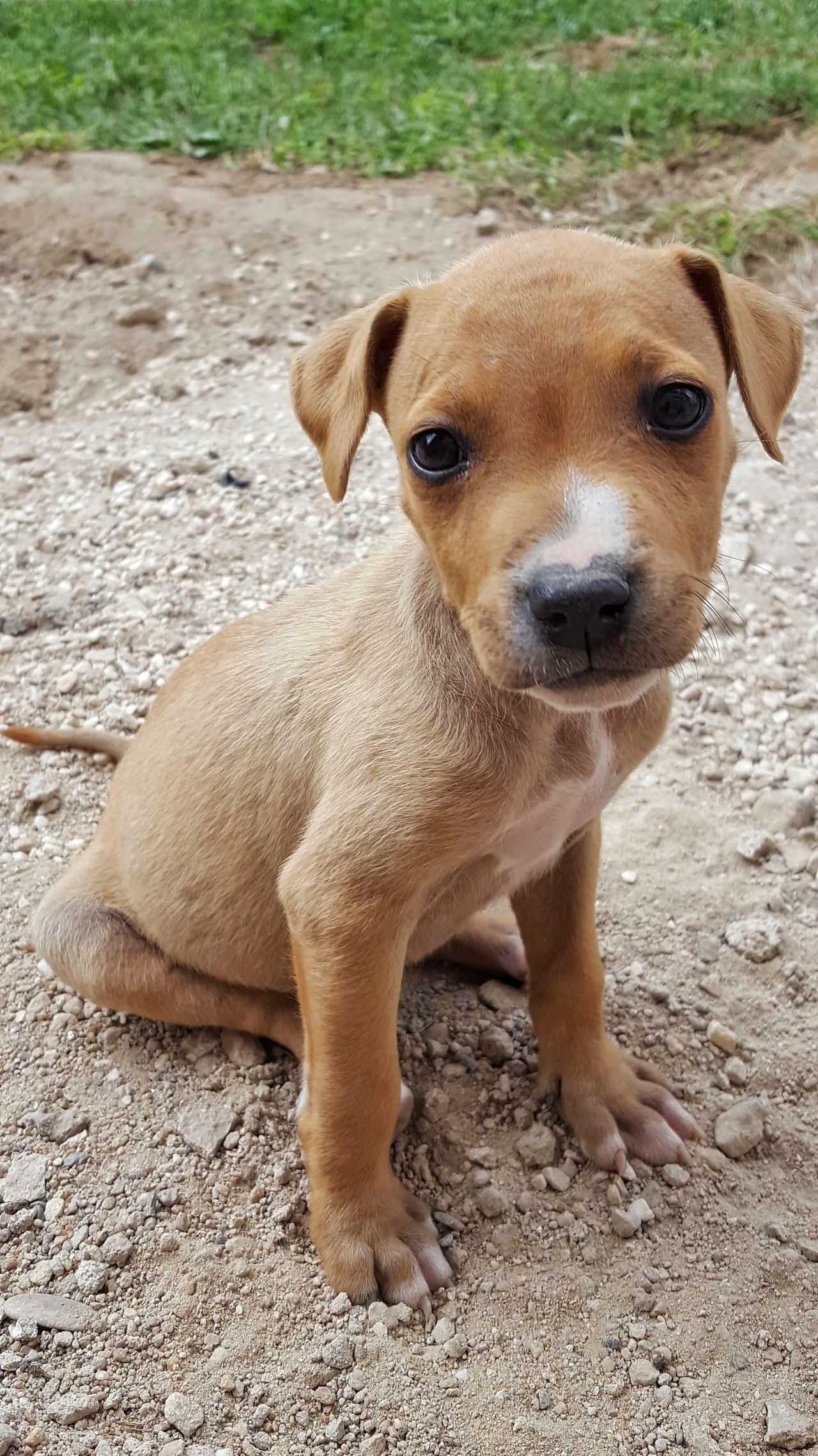 Puppye Poser ❤ Dog Pitbull Guard Pitbulllover Pitbull♥ Love Delicious Outdorphotography