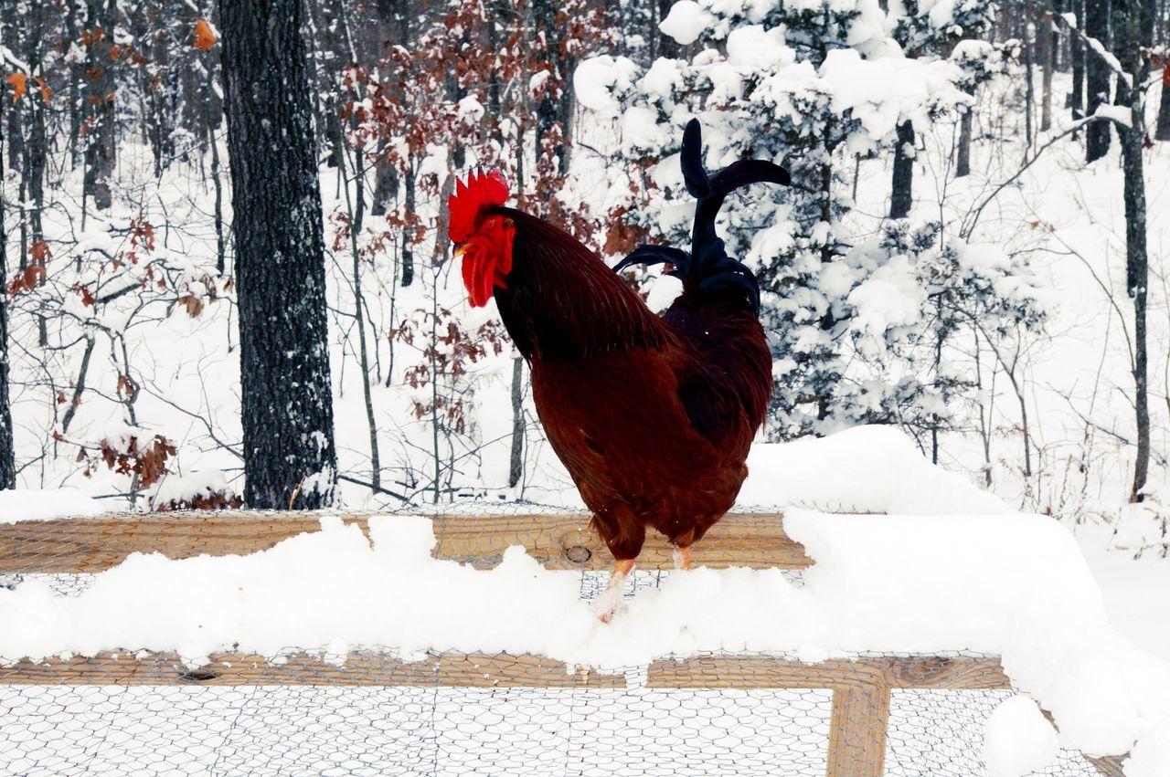 Beautiful stock photos of rooster, Animal Themes, Bird, Branch, Chicken - Bird
