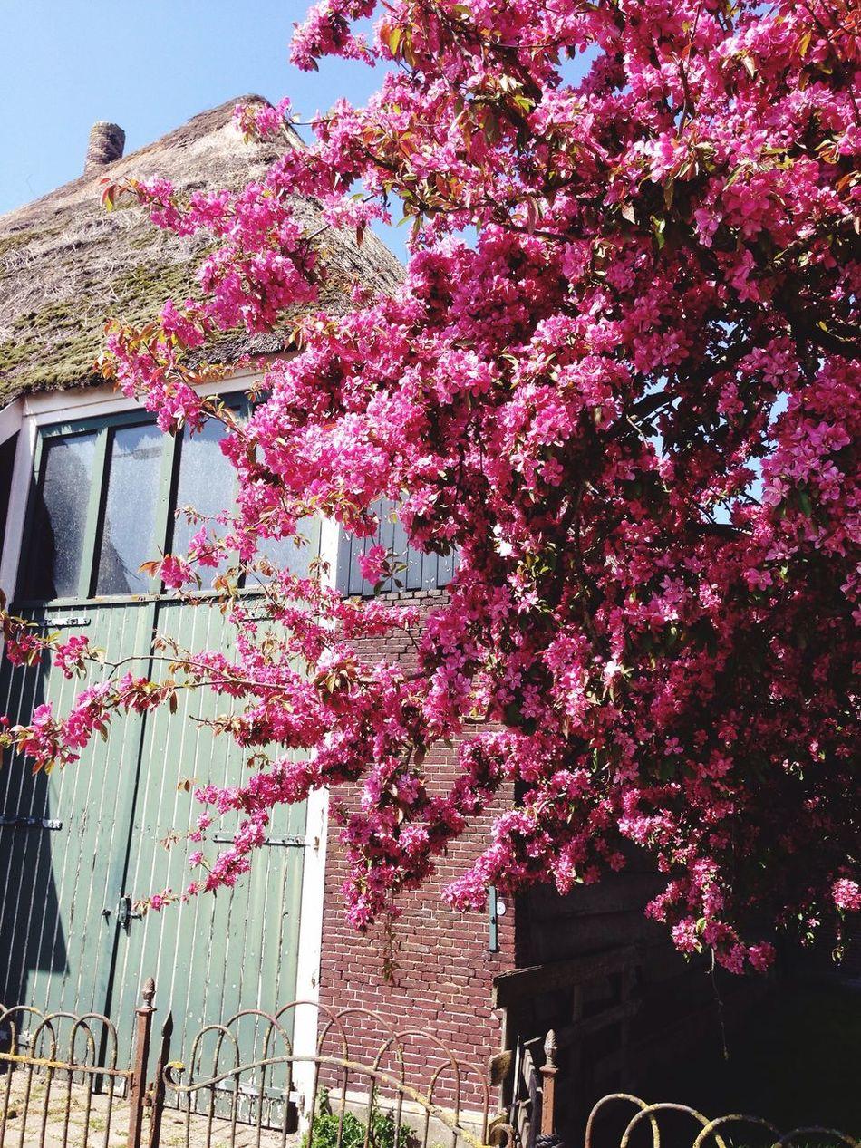 Pink🌸 Flower Pink Color Tree Old Buildings