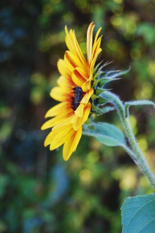 Eine einsame sonnenblumen am Straßen rand
