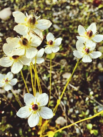 Flower Fragility Petal Flower Head Nature Beauty In Nature Growth White Color Freshness Blossom Blooming Plant Botany Stamen No People Springtime Pollen Day Close-up Outdoors EyeEmNewHere EyeEm Nature Lover