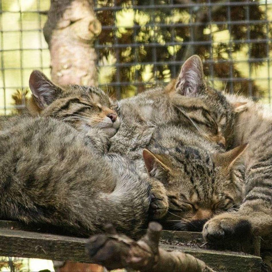 Wildcat Kitten's Cute Aww Catnap Sleeping Happy Cosy Wildcat Kittens Highland Wildlife Park Scotland