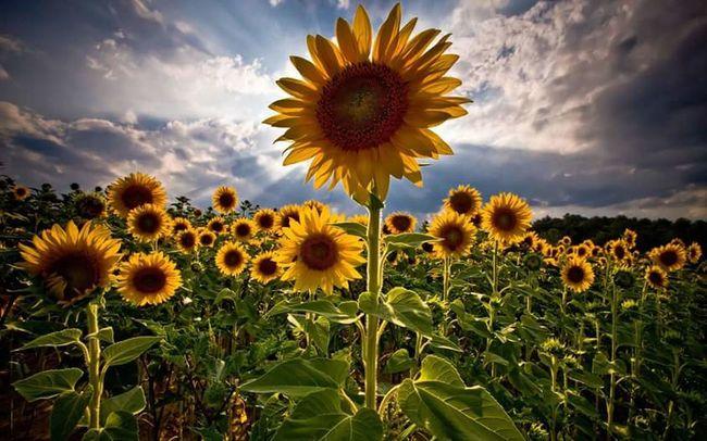 Colour Of Life Sonnenblumen🌻Sonnenblumen Sunflowers Sunflowers Field Blumen Blumenfotografie Flowers Flowersofinstagram Nature Nature Photography Natur Naturelovers Floral Floral Naturephotography Flower Of Eyeem Himmel Heaven Wolken Clouds