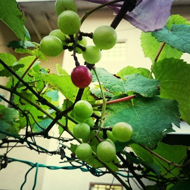 Welcome baby grape Hello World