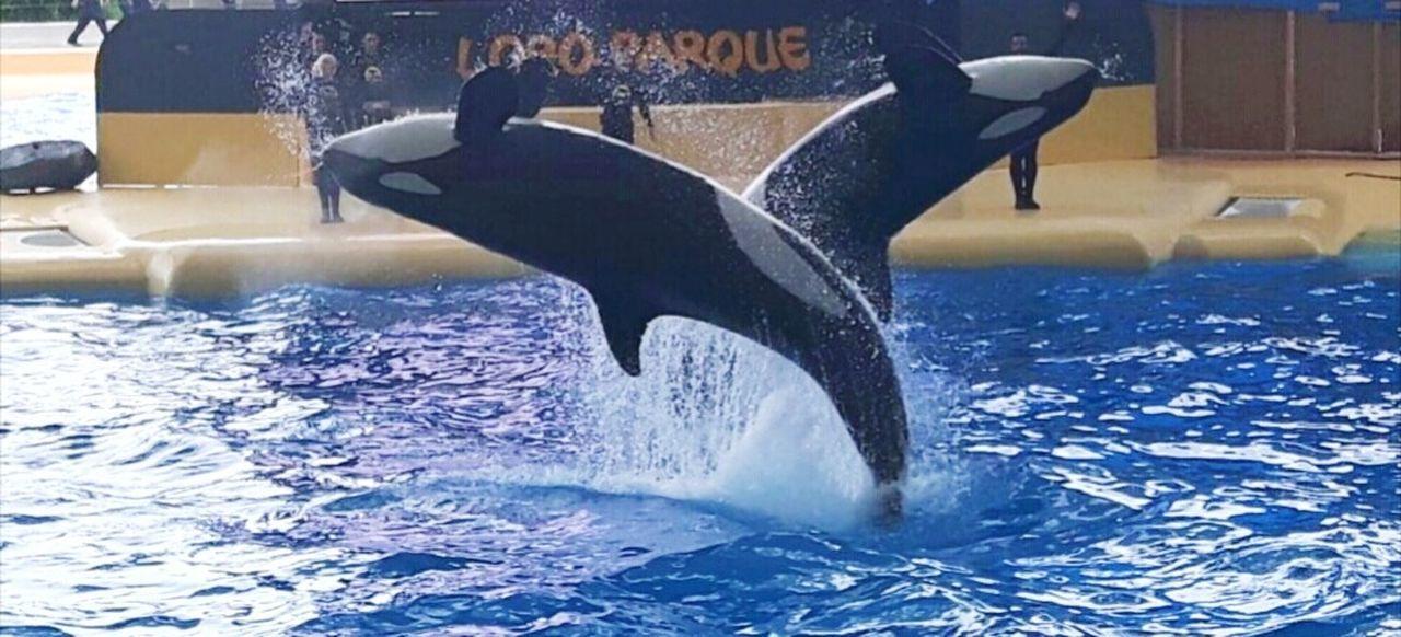 Orca Whale Orca Teneriffa Sea Life Loro Parque Whale Puerto De La Cruz Canary Islands