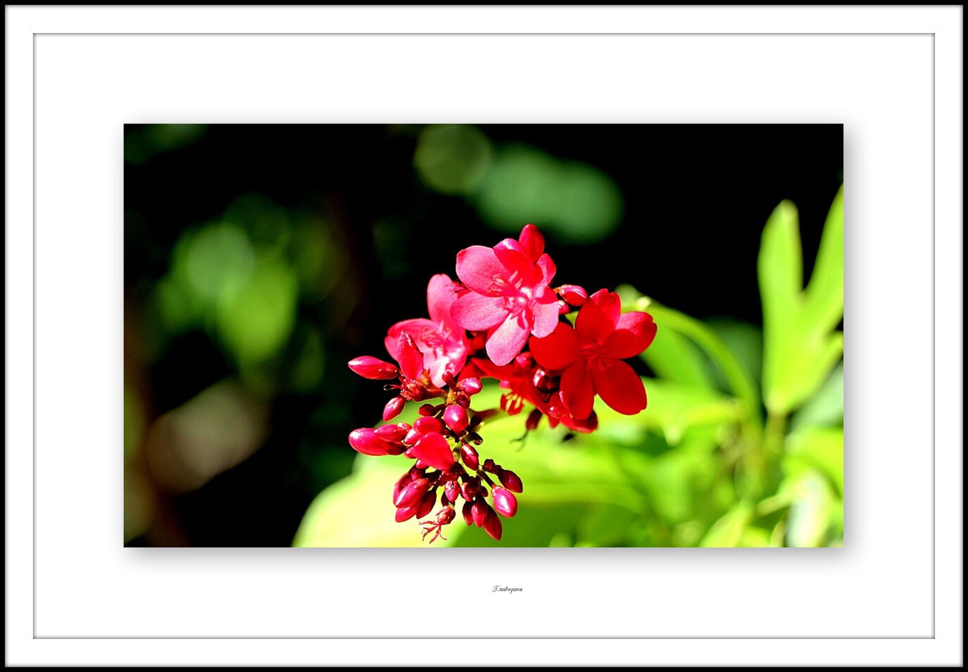 flower, freshness, transfer print, fragility, growth, petal, close-up, beauty in nature, red, focus on foreground, auto post production filter, flower head, nature, plant, blossom, blooming, pink color, in bloom, stem, leaf