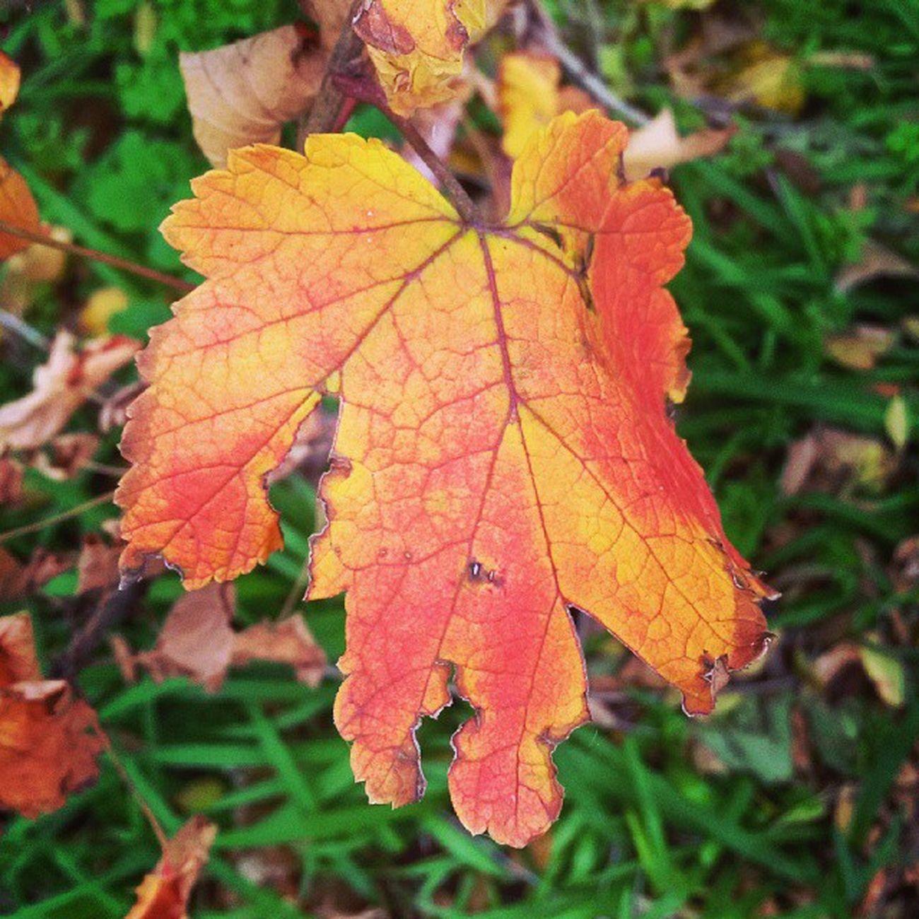 Autumn. Fall Autumn Leaves Tagsforlikes falltime season seasons instafall instagood TFLers instaautumn photooftheday leaf foliage colorful orange red autumnweather fallweather nature Russia
