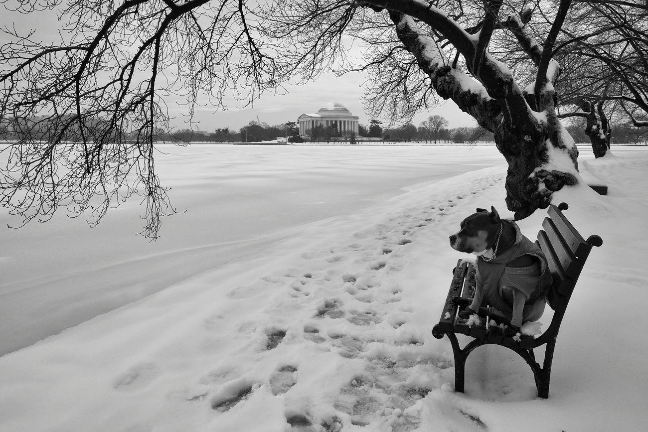 Relaxing Enjoying The View Pitbull Chilling Frozen Lake Jefferson Memorial DC WashingtonDC