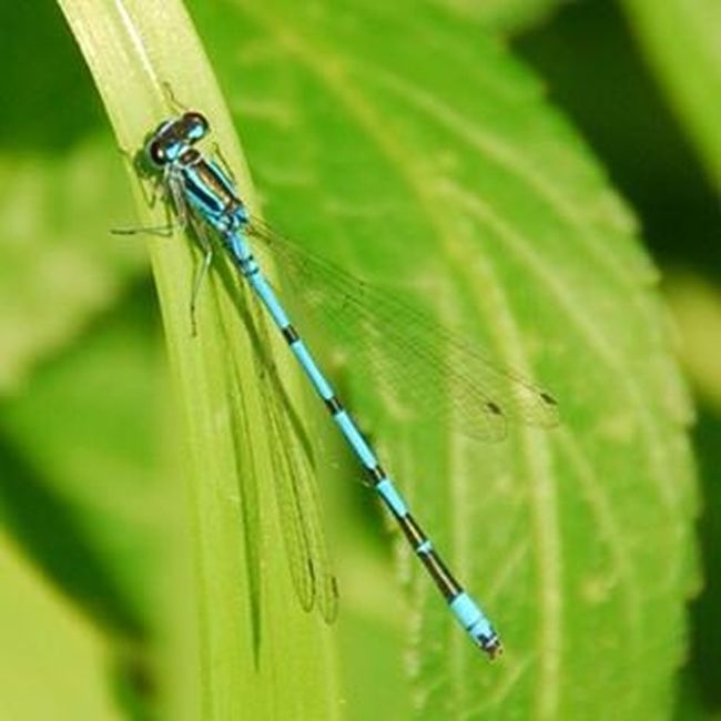 Damselfly Common Blue Water Nature Life Water Nymph Water Nymphs Wings Abdominal Segments Stigma Nodus Thorax Front Prothorax Eye Tibia Femur Reeds, Weeds, Marshland, Marsh,