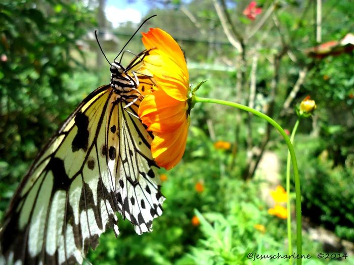 Animal Antenna Animal Themes Animals In The Wild Beauty In Nature Butterfly Butterfly - Insect Close-up Day Flower Flower Head Focus On Foreground Fragility Freshness Growth Insect Nature One Animal Orange Color Petal Plant Pollination Single Flower Symbiotic Relationship Wildlife Yellow