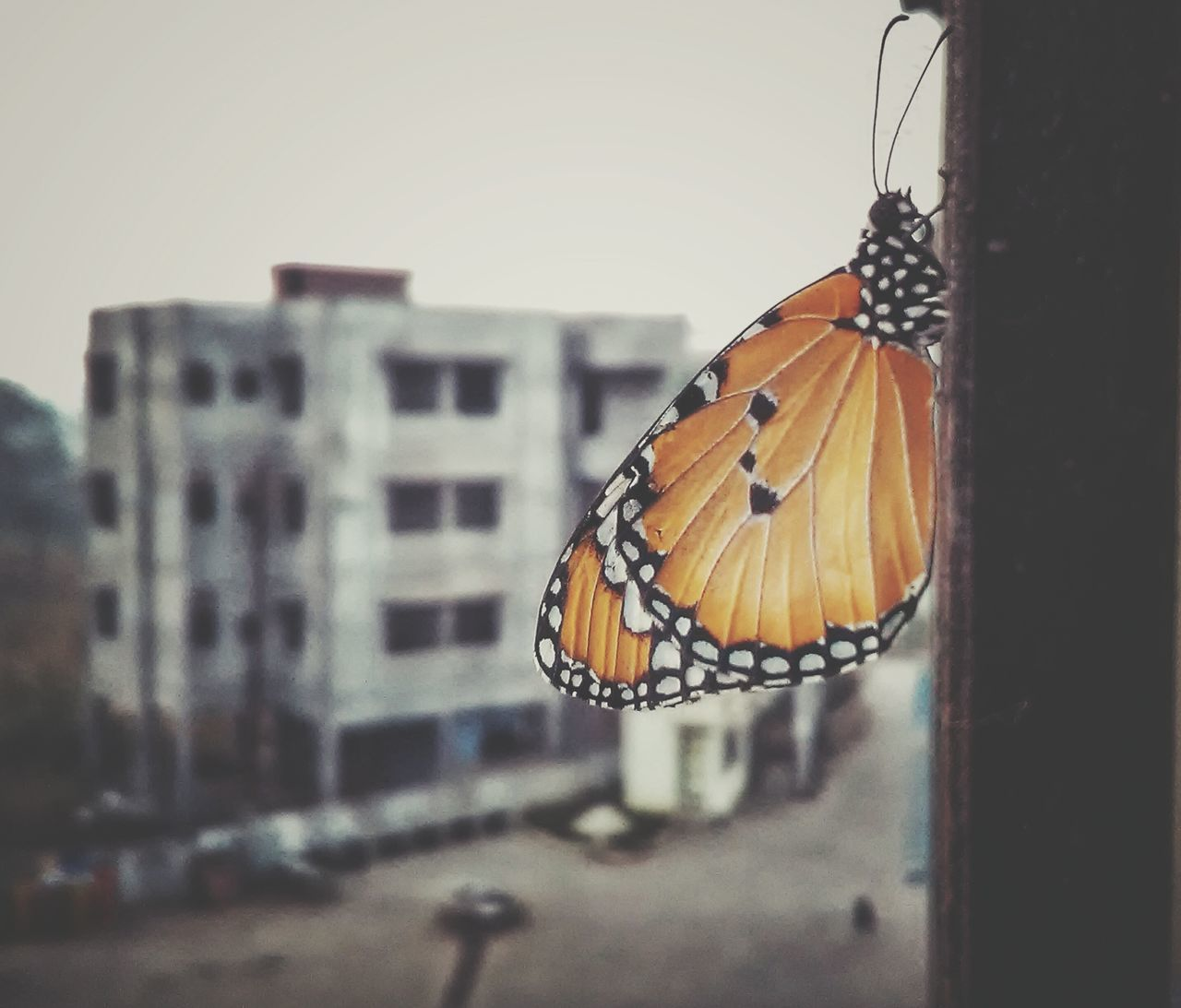 Animal Themes Butterfly - Insect One Animal Insect No People Nature Close-up Outdoors Day Morning Picture Wintertime Winteriscoming Butterfly Macro Butterfly Wings Butterfly ❤ AWESOME!!  Architecture Building Exterior Focus On Foreground Awesomeness Awesome_view Awesome_captures Freshness AWESOME!!