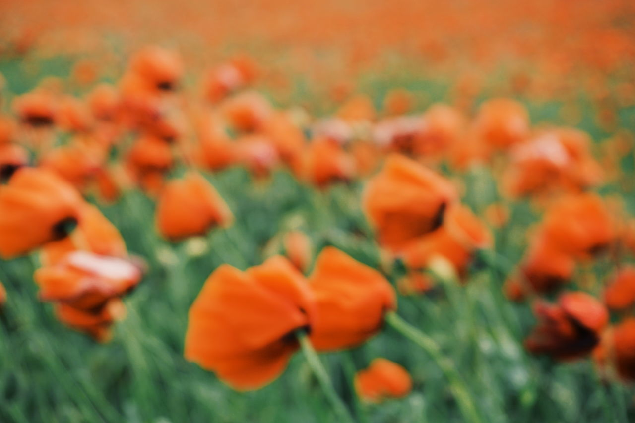Blurry photo of poppies Beauty In Nature Blooming Blurry Blurry On Purpose Close-up Day Field Flower Flower Head Focus On Foreground Fragility Freshness Growth Marigold Nature No People Orange Color Outdoors Petal Plant Poppies  Poppy Poppy Fields Poppy Flower Poppy Flowers