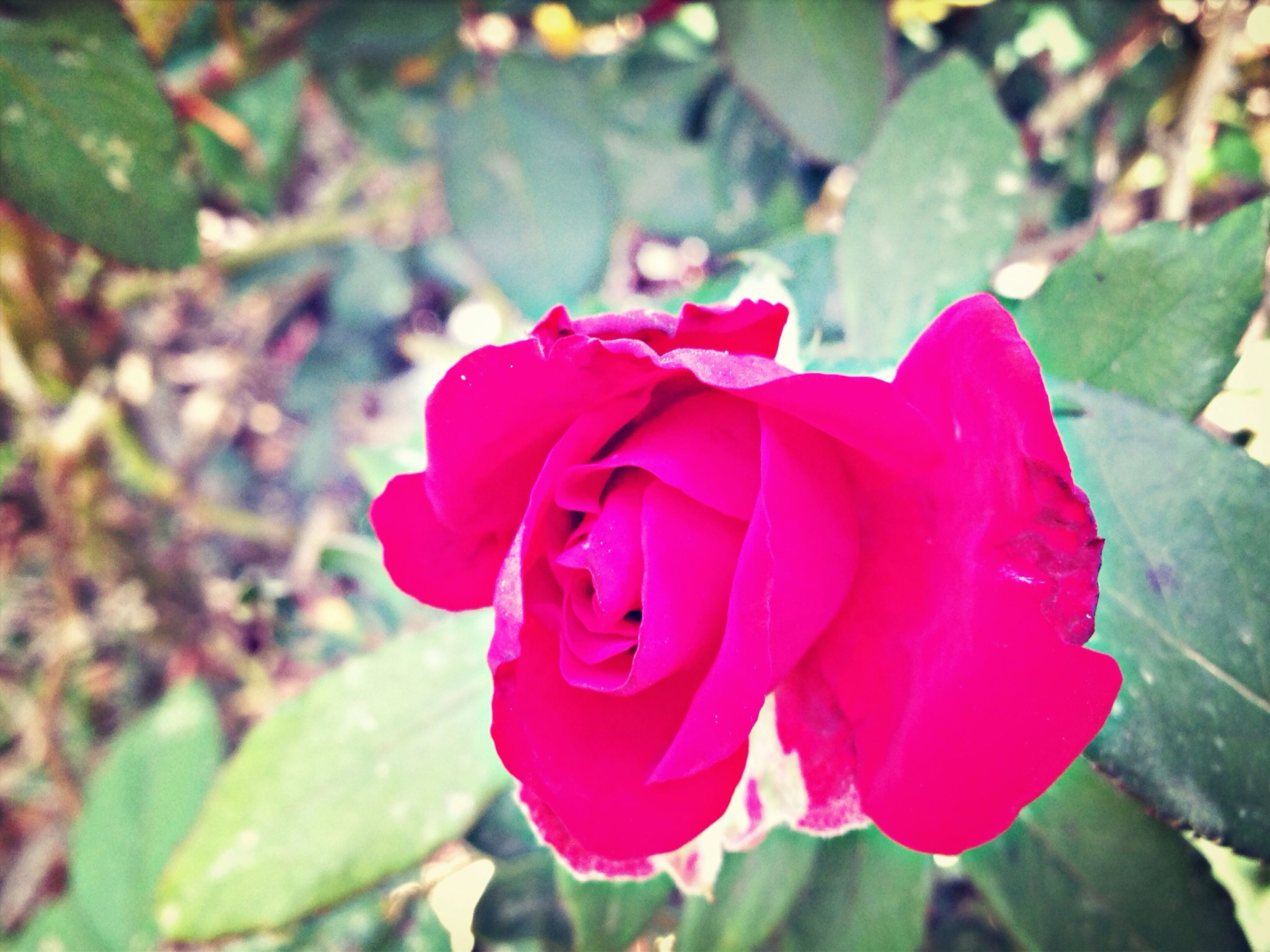flower, petal, flower head, freshness, fragility, growth, focus on foreground, close-up, blooming, beauty in nature, rose - flower, red, nature, single flower, plant, pink color, leaf, in bloom, park - man made space, day
