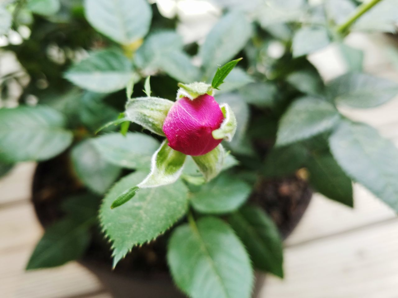 Nature No People Rose🌹 Rosebud Small Red Reddishpink Outdoors Beauty In Nature MYS7EDGEPHOTOS