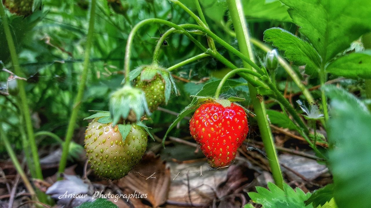 red, growth, fruit, green color, freshness, nature, outdoors, food and drink, field, no people, day, leaf, close-up, food, plant, healthy eating, beauty in nature, grass, fly agaric mushroom
