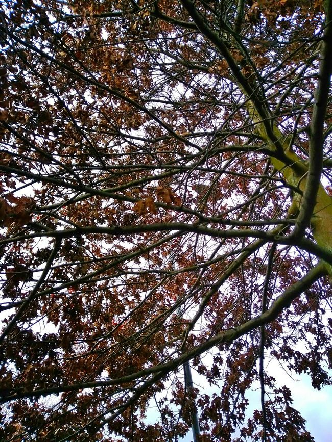 Winter Tree Low Angle View Tree Nature Growth Branch Day Beauty In Nature Christmastime Brown Brownleaves Manchester