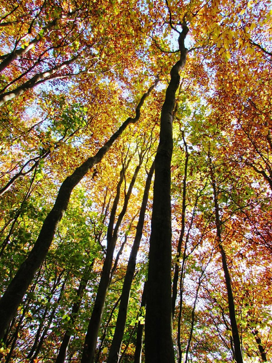 Tree Low Angle View Nature Growth Beauty In Nature No People Outdoors Autumn Autumn ColorsTree Autumn Collection Stunning_shots Tree Porn Colour Of Life Trip Ecstasy Low Angle View Nature Growth Beauty In Nature No People Outdoors Branch Tranquility Forest