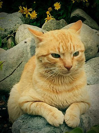 Cat Cat Lovers Ginger Cat Moggy Lion Cat Cat In Flower Garden Cat In Garden Pet Photography  Paws Paws And Purrs Pussycat Pussylover