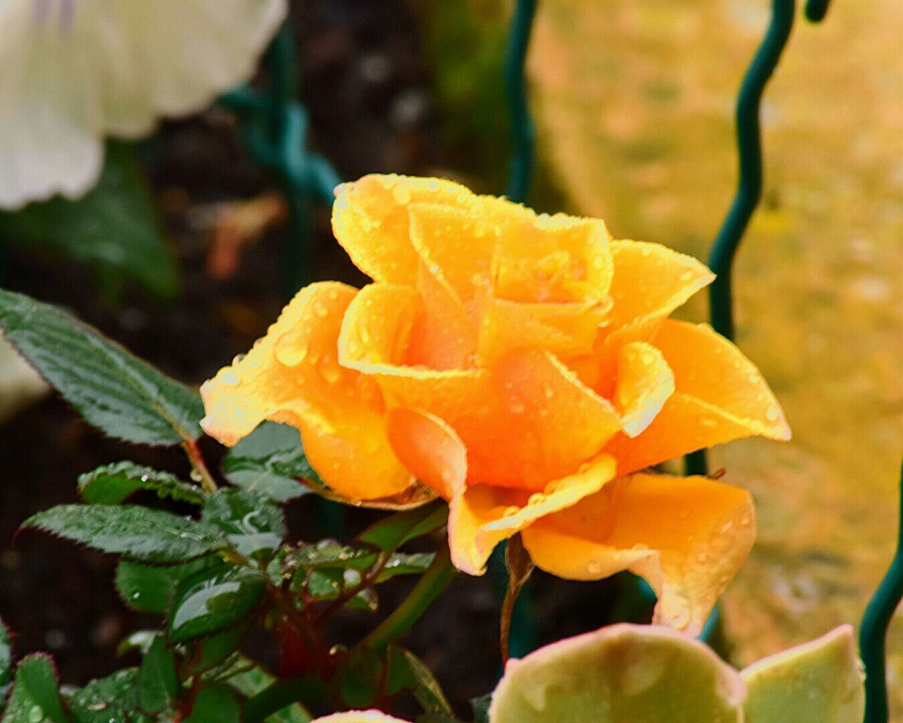 Nature Flower Plant Yellow Growth Beauty In Nature Fragility Freshness Flower Head Nature_collection Roses Flowers  Spring Colours Spring Photography Springtime Rain Drops Rainy