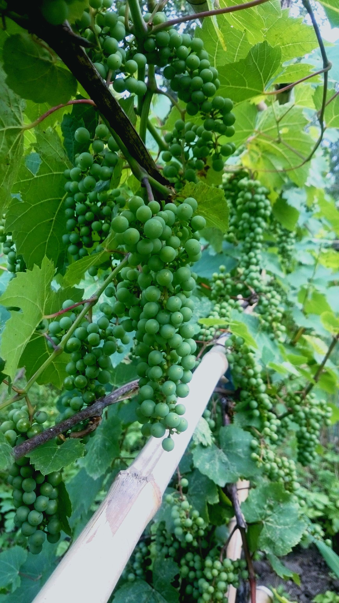 "Pinot Noir Spätburgunder Wine Red Wine Burgundy Georgia West Georgia French Wine Cluster Fruit Grapeფრანგული ""პინო ნუარი"" საქართველოში."