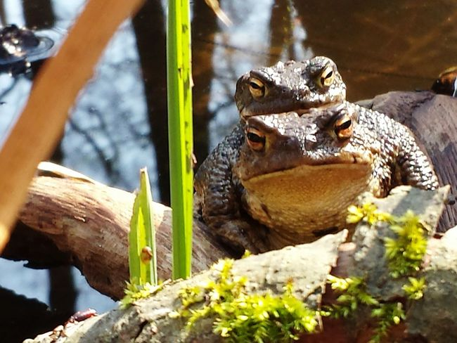 Reptile Animal Themes Animal Wildlife Animals In The Wild Outdoors Naturephotography Eye4photography  Beauty In Nature Froglife In The Mood For Love