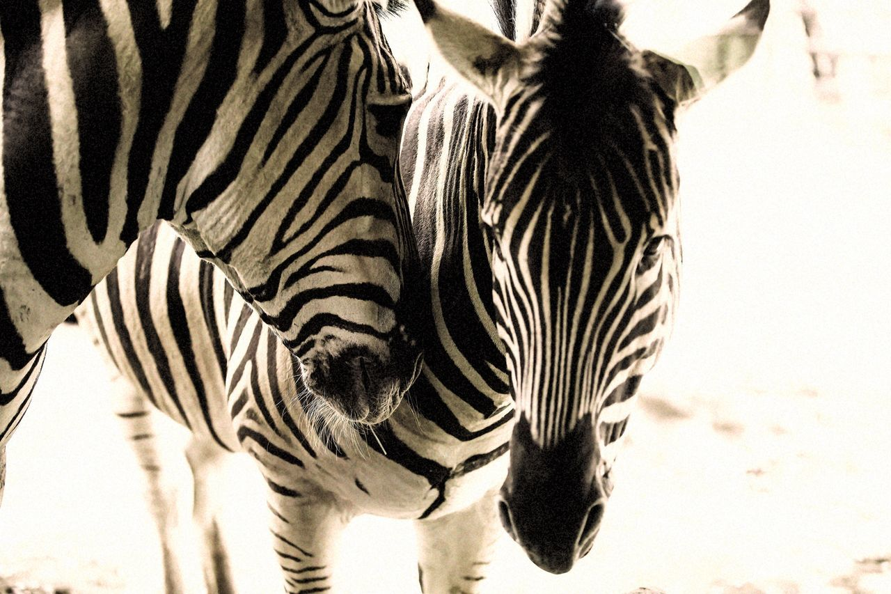 Animal Zebra Confession Love Zoo Kobe Oji Zoo Summer Heat Canon Canonphotography Canon5Dmk3 EF70-200mm F2.8L IS II USM